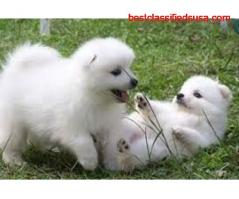 Cute Japanese Spitz for sale