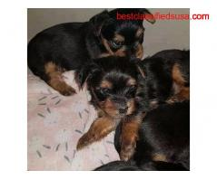 ADORABLE TEACUP YORKIE  PUPPIES FOR SALE NEAR