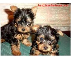 Cute And Adorable Yorkie Puppies Available